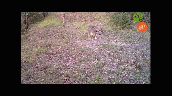 Cuccioli di lupo a spasso per il Parco delle Foreste Casentinesi  VIDEO