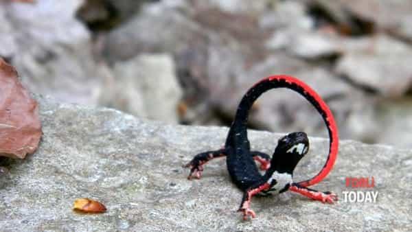 Alla ricerca della salamandrina: escursione per famiglie
