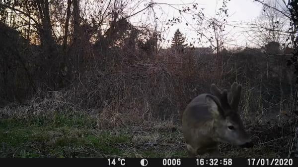 La fototrappola 'cattura' due maschi di capriolo mentre giocano - VIDEO