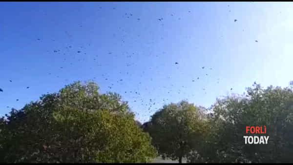 Il frastuono e il volo di migliaia di uccelli sui quartieri di Forlì