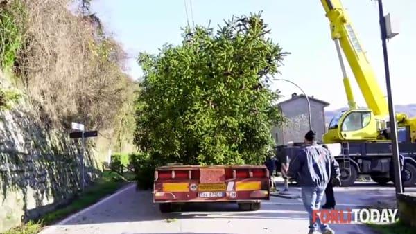 Ecco l'albero di Natale che riceverà l'amore dei forlivesi: arriva da Premilcuore