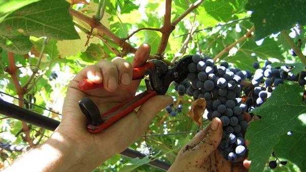 Sagra dell'uva: torna a Pieve Salutare la storica manifestazione