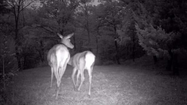 La fototrappola cattura un momento meraviglioso: mamma cervo intenta ad allattare - VIDEO