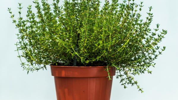 timo-pianta-vaso-2