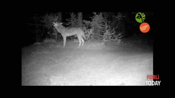 La straordinaria ripresa di un lupo libero in natura che ulula