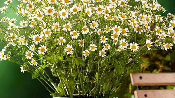 pianta-fiori-camomilla-2
