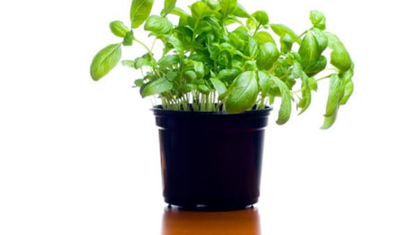 pianta-vaso-basilico-2