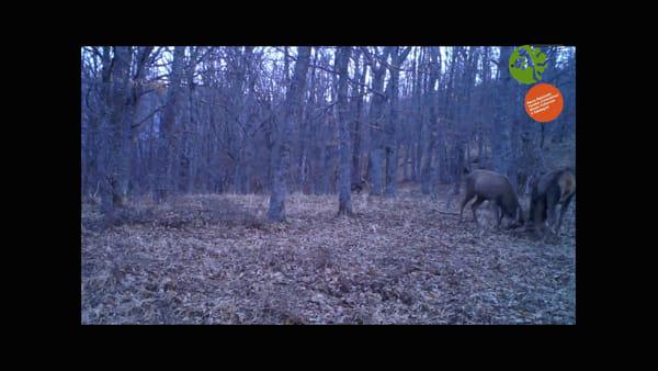 """Cervi in amore """"catturati"""" dalle fototrappole nel Parco delle Foreste Casentinesi - VIDEO"""