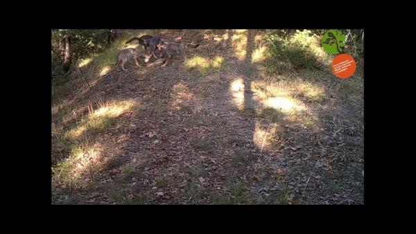 Foreste Casentinesi, cuccioli di lupo giocano davanti alla telecamera - VIDEO