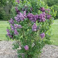 lilla-fiori-pianta-2