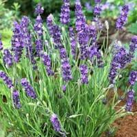 pianta-fiori-lavanda-2