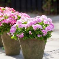 vaso-pianta-geranio-2