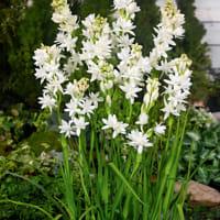 pianta-vaso-tuberose-2