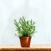 pianta-vaso-rosmarino-2